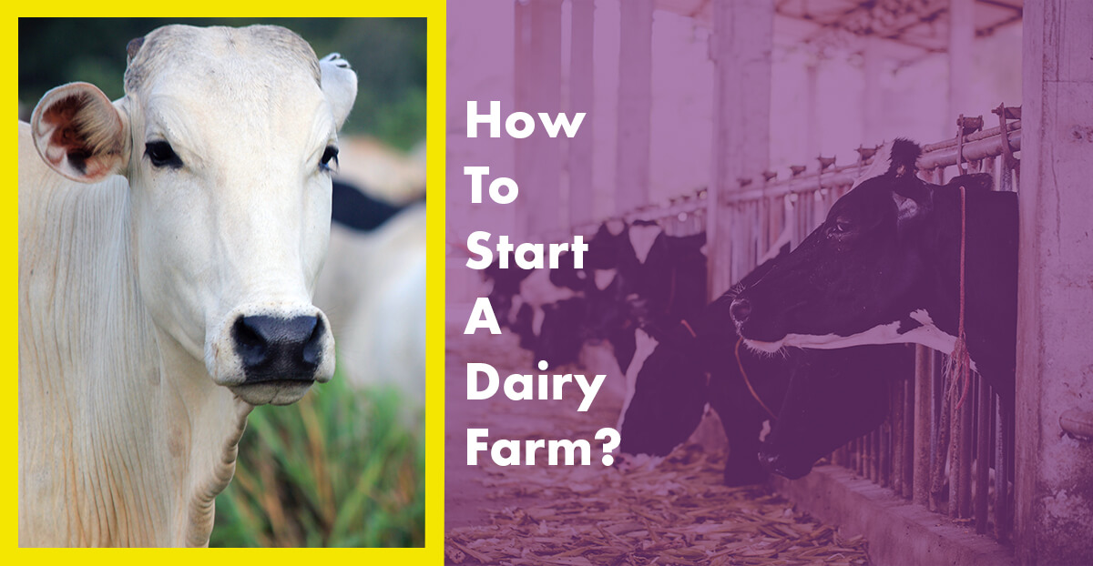 How To Start A Dairy Farm?