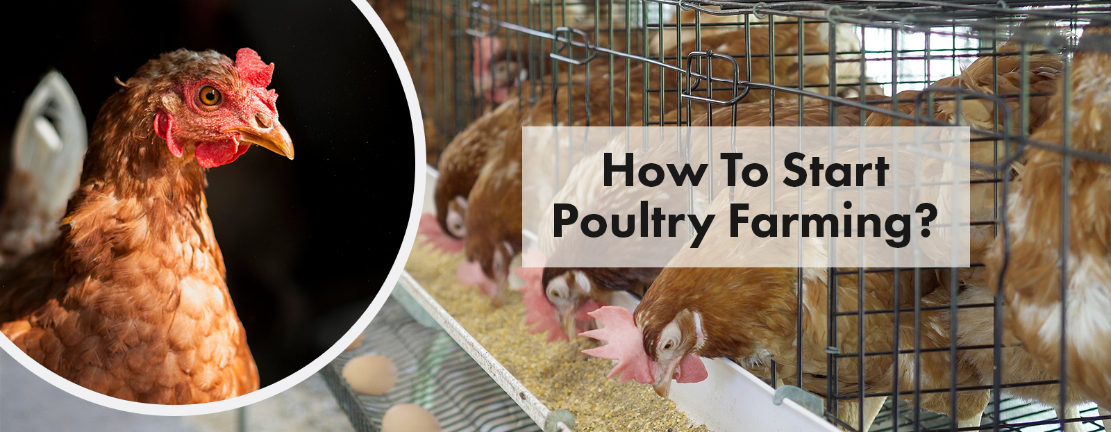 How To Start Poultry Farming?